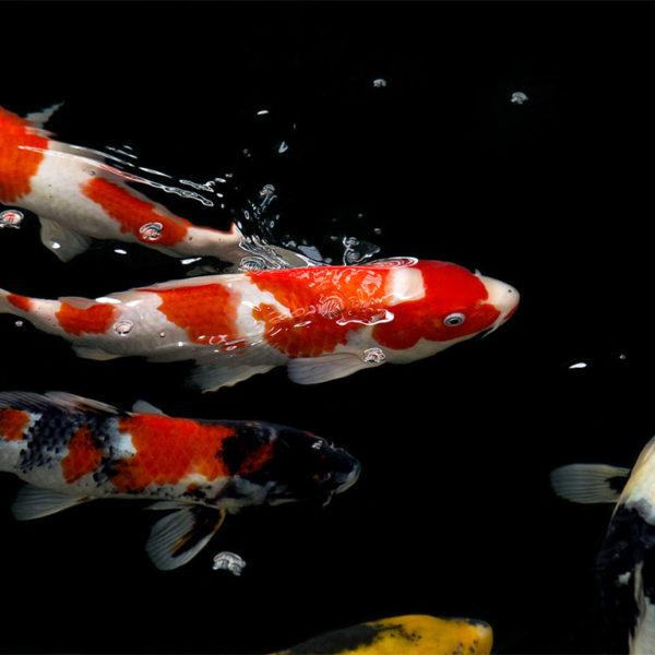 Goldfische im klaren,sauberen Teich