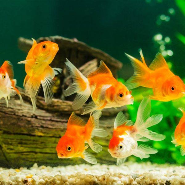 Fische im Aquarium mit klarem, sauberem Wasser